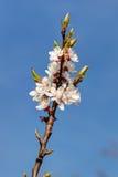 Rama de la primavera Imagen de archivo