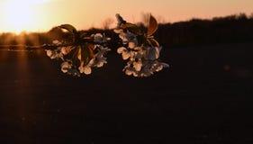 Rama de la primavera Foto de archivo libre de regalías