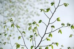 Rama de la primavera con el nuevo crecimiento de las hojas Foto de archivo libre de regalías