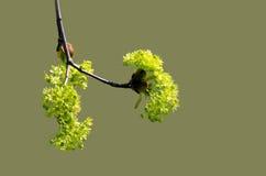 Rama de la primavera con las hojas jovenes Imagenes de archivo