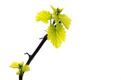 Rama de la primavera de la vid de uva con las hojas frescas del verde aisladas en el fondo blanco imagen de archivo libre de regalías