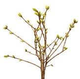 Rama de la primavera del árbol, brote en una rama de árbol Imagen de archivo libre de regalías