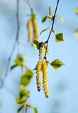 Rama de la primavera del abedul con los pendientes en día soleado de la primavera Árbol b Fotos de archivo