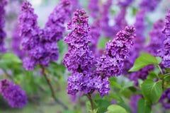 Rama de la primavera de la lila floreciente Imagen de archivo libre de regalías