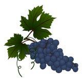 Rama de la uva Foto de archivo libre de regalías