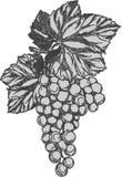 Rama de la uva con el manojo de uvas y de hojas Imagen de archivo