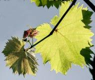 Rama de la uva con las hojas jovenes Foto de archivo