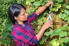 Rama de la uva de la poda de la mujer joven en otoño Fotografía de archivo