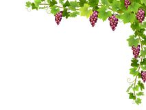 Rama de la uva roja en esquina Foto de archivo