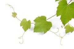 Rama de la vid con las hojas Foto de archivo libre de regalías