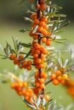 Rama de las bayas de espino cerval anaranjadas de mar en parque del otoño Cosecha estacional de la baya foto de archivo
