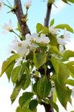 Rama de las flores de cerezo Primavera imágenes de archivo libres de regalías