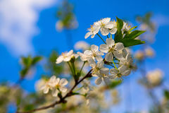 Rama de las flores de cerezo en fondo del cielo Fotos de archivo