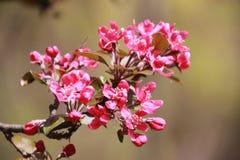 Rama de las flores del rojo cereza Fotografía de archivo