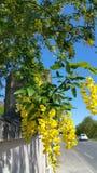Rama de las frondas amarillas brillantes del codeso que cuelgan sobre sombras del bastidor de la pared del jardín en la pared con Fotografía de archivo libre de regalías