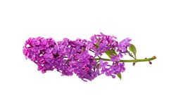 Rama de las lilas púrpuras aisladas Imagenes de archivo