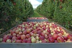 Rama de las manzanas de la gala foto de archivo libre de regalías