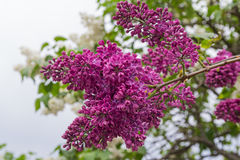 Rama de lilas florecientes cerca para arriba Fotos de archivo