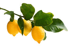 Rama de limones Imágenes de archivo libres de regalías