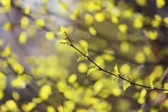 rama de los árboles de abedul con las hojas jovenes Fotos de archivo libres de regalías