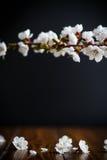 Rama de los albaricoques florecientes de la primavera Fotografía de archivo