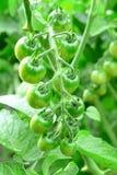 Rama de los tomates de cereza inmaduros Cómo producir los tomates de cereza en un huerto primer Foto de archivo libre de regalías