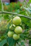 Rama de los tomates de cereza inmaduros verdes al aire libre Cereza orgánica Fotos de archivo libres de regalías