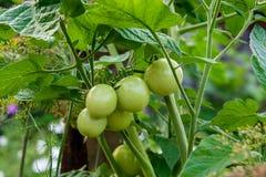 Rama de los tomates de cereza inmaduros verdes al aire libre Cereza orgánica Imagen de archivo libre de regalías