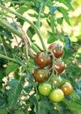 Rama de los tomates frescos del chocolate Fotografía de archivo