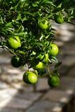 Rama de naranjas verdes Imagenes de archivo