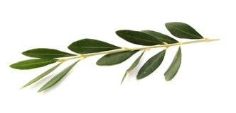 Rama de olivo Fotografía de archivo