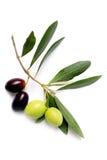 Rama de olivo Imagen de archivo