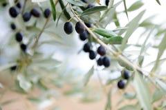 Rama de olivo Imágenes de archivo libres de regalías