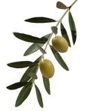 Rama de olivo con dos aceitunas Foto de archivo libre de regalías