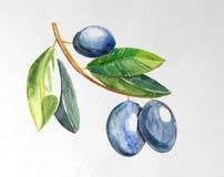 Rama de olivo con las aceitunas maduras fotografía de archivo libre de regalías