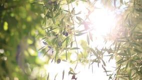 Rama de olivo con las frutas Olivares y jardines en Montenegro metrajes