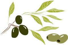 Rama de olivo con las hojas y las aceitunas Imágenes de archivo libres de regalías