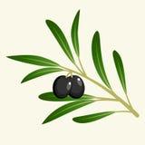 Rama de olivo del vector Fotografía de archivo libre de regalías