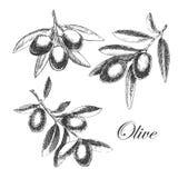 Rama de olivo dibujada mano del vector bosquejo detallado Foto de archivo