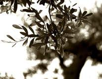 Rama de olivo en el fondo de un árbol viejo imagen de archivo libre de regalías