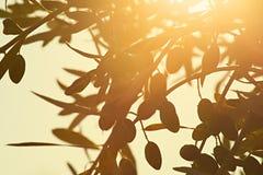 Rama de olivo en el sol de la mañana Imágenes de archivo libres de regalías