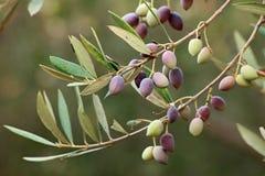 Rama de olivo en una granja orgánica Imagenes de archivo