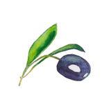 Rama de olivo negra con las hojas en el fondo blanco W dibujado mano Foto de archivo libre de regalías