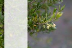 Rama de olivo y fondo borroso Maqueta transparente para el contenido Copie el espacio Profundidad del campo baja fotos de archivo libres de regalías