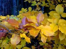 Rama de oro de la hoja de Autum del extracto del árbol de la playa Fotografía de archivo