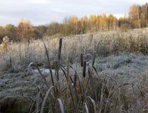 Rama de Reed cubierta con nieve Imagen de archivo libre de regalías