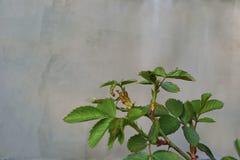 Rama de Rose Foto de archivo