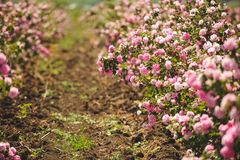 Rama de Rose Bush Fotografía de archivo