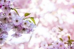 Rama de Sakura Cherry con los flores fotos de archivo