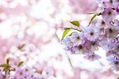 Rama de Sakura Cherry con los flores imagen de archivo